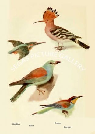 Kingfisher, Roller, Hoopoe & Bee-eater